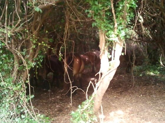 Dover Pferde